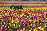 Colorful Tulip Farm Photographic Print by Craig Tuttle