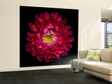 Red Aster II Wall Mural – Large by Magda Indigo