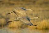 Two Sandhill Cranes in Flight Photographic Print by Darrell Gulin
