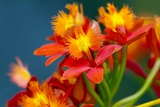 Epidendrum Orchids, Hawaii Reproduction photographique par Ron Dahlquist