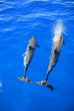 Two Spinner Dolphin Off Manele Bay at Lanai in Hawaii Photographic Print by Ron Dahlquist