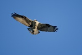 Osprey, Acadia National Park, Maine Reproduction photographique par Paul Souders