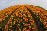 Orange Tulip Fields in North Holland in the Netherlands Photographic Print by Darrell Gulin