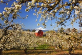 Sunrise Mt.Hood and Old Red Barn, Hood River Valley and Apple Blossoms, Hood River Oregon, Columbia Photographic Print by Craig Tuttle