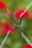 Male and Female Hawaiian Shadow Spider Photographic Print by Darrell Gulin