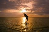 Dolphin Breaching at Sunset Fotografisk trykk av Craig Tuttle