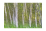 Alder Forest I Photographic Print by Kathy Mahan