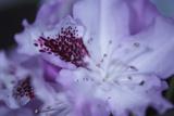 Lavender Rhodies II Prints by Rita Crane
