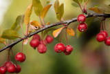 Red Berries II Photographic Print by Erin Berzel