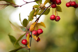 Red Berries I Photographic Print by Erin Berzel