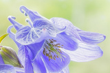 Columbine Flowers I Photographic Print by Kathy Mahan