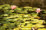 Lotus Pond I Photographic Print by Erin Berzel