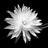Queen of the Night BW II Fotodruck von Douglas Taylor