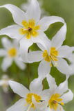 Avalanche Lily IV Photographic Print by Kathy Mahan