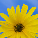 Sunflower on Blue I Prints by Kathy Mahan