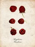 Raspberries Posters
