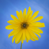 Sunflower on Blue II Photographic Print by Kathy Mahan