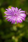 Purple Blossom Photographic Print by Erin Berzel