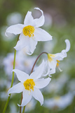 Avalanche Lily I Photographic Print by Kathy Mahan