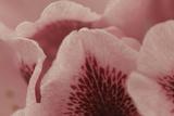 Tender Petals I Prints by Rita Crane