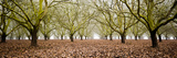 Hazel Tree Grove Pano II Photographic Print by Erin Berzel