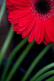 Red Gerbera Daisy Print by Erin Berzel