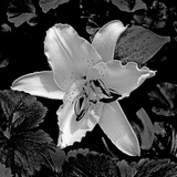 White Lily II Photographic Print by Rita Crane