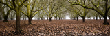 Hazel Tree Grove Pano I Photographic Print by Erin Berzel