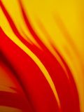 Tulip Abstract I Photographic Print by JoAnn T. Arduini