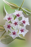 Hoya Bella Blooms I Photographic Print by Kathy Mahan