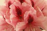 Delicate Petals I Prints by Rita Crane