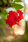 Red Hibiscus Prints by Erin Berzel