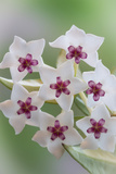 Hoya Bella Blooms II Photographic Print by Kathy Mahan