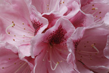 Pink Rhododendron I Prints by Rita Crane