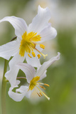 Avalanche Lily III Photographic Print by Kathy Mahan