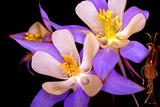 Columbine Blue II Photographic Print by William Castner