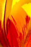 Tulip Abstract II Photographic Print by JoAnn T. Arduini