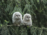 Two Owlets Perching on Tree Branch Prints by  Nosnibor137