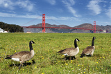 Gooses and Golden Gate Bridge Fotodruck von  prochasson
