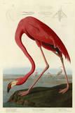 John James Audubon - Amerikan Flamingosu - Poster