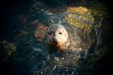 Seal Swim in Sea in San Diego Beach. Prints by Songquan Deng