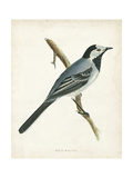 Morris White Wagtail Art by  Morris