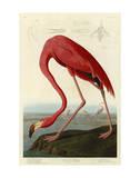 Amerikansk flamingo, på engelsk Plakater af John James Audubon