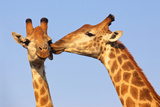 Kissing Giraffes Photographic Print by  ZambeziShark