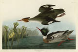 Red Breasted Merganser Prints by John James Audubon