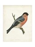 Morris Bullfinch Posters by  Morris