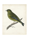 Morris Greenfinch Posters by Reverend Francis O. Morris