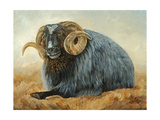 Baa Baa Black Sheep Prints by Kathy Winkler