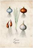 Onions Prints