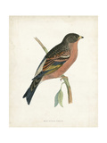 Morris Mountain Finch Prints by Reverend Francis O. Morris